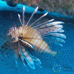 Pterois miles (Kas - Turkey)