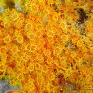 Parazoanthus axinellae (Parc National de Port-Cros - France)