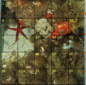 Quadrat permettant d'estimer le pourcentage de recouvrement des espèces benthiques (macroalgues & invertébrés)